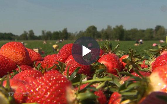 Erdbeersaison_gestartet_2020